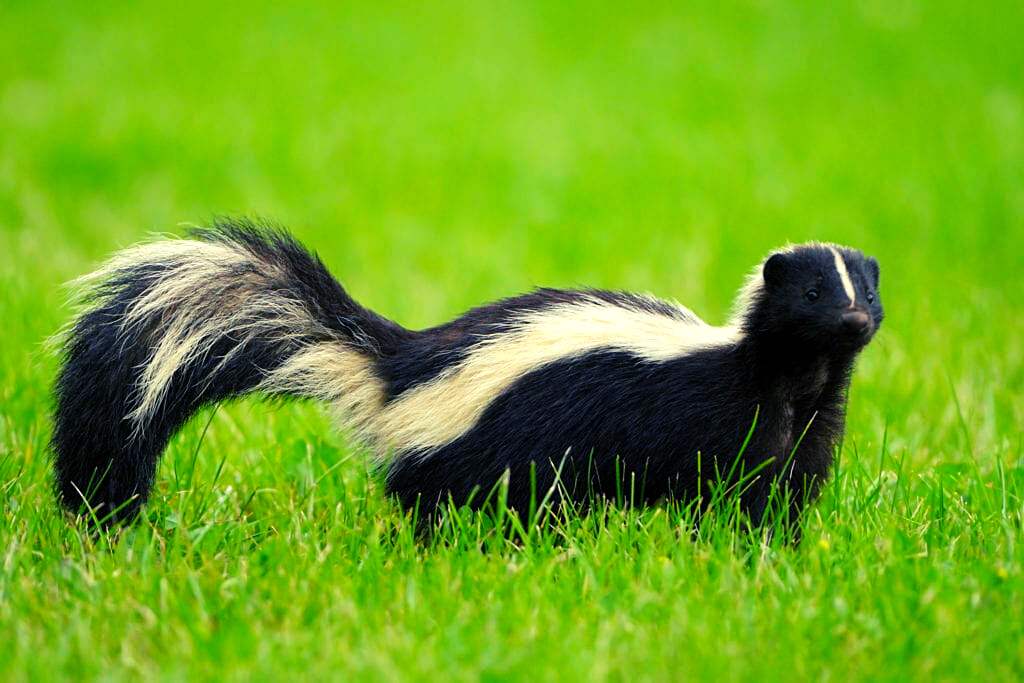 What To Do If A Skunk Sprays Your Artificial Turf